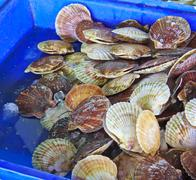 Scallops in the shell in the market Stock Photos