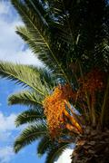 palm tree with fruits on a background of azure sky - stock photo