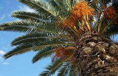 Stock Photo of palm tree with fruits on a background of azure sky