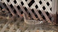 Stock Video Footage of CALIFORNIA CLAPPER RAIL Endangered Species Swimming Walking Hunting 12