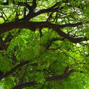 jacaranda tree crown - stock photo