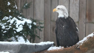 Stock Video Footage of Bald Eagle, Haliaeetus leucocephalus
