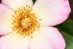 Eglantine sweet briar flower blossom Stock Photos