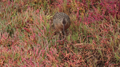 CALIFORNIA CLAPPER RAIL Endangered Species Walking Hunting 03 - stock footage
