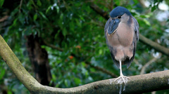 Boat-billed Heron, Cochlearius cochlearius Stock Footage