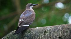Inca Tern, Larosterna inca Stock Footage