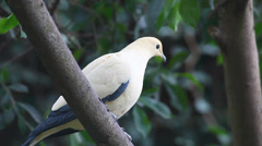 Pied Imperial Pigeon, Ducula bicolor Stock Footage