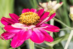 magenta violet zinnia flower in summer - stock photo