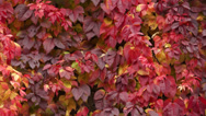 Stock Video Footage of Virginia Creeper 005
