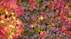 Virginia Creeper 004 Stock Footage