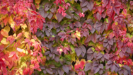 Stock Video Footage of Virginia Creeper 004