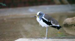 White-headed Lapwing, Vanellus albiceps Stock Footage