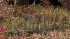 CALIFORNIA CLAPPER RAIL Endangered Species Hunting Walking 08 - stock footage