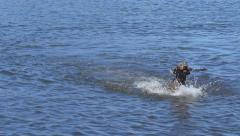 Weimaraner Retrieving a Branch from Lake - stock footage
