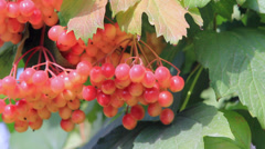 Harvest of red viburnum Stock Footage