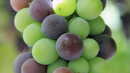 Stock Video Footage of Ripening grapes
