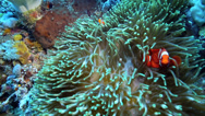 Stock Video Footage of Bright orange anemonefish or clownfish sheltering in anemone