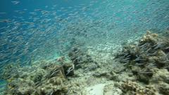 Shoal of tiny fish swimming in shallow water over coral reef - stock footage
