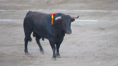 Spanish Fighting Bull. Toro de lidia. bullfight arena. Bullfighter - stock footage