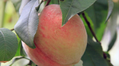 Pink peach on swinging sprig Stock Footage