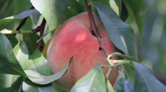 Peach fruit inspect Stock Footage