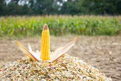 Corncob on chopped corn - stock photo