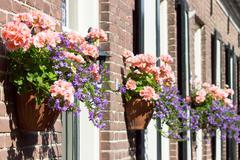 Pink geraniums hanging at facade Stock Photos