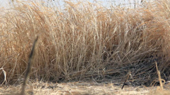Inside dry grass field Stock Footage