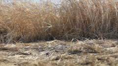 Dry grass for straw Stock Footage