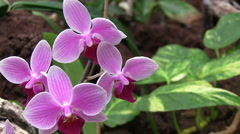 Close up of a orchis Stock Footage