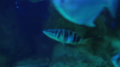 Serranus scriba painted comber. Stock Footage