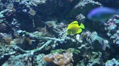 Yellow and blue tang aquarium fish. Stock Footage