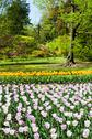 Stock Photo of tulips garden