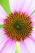 inflorescence of decorative  echinacea - stock photo