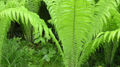 Closeup of fern plant branches forest and intensive rain water Stock Footage