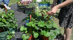 Hand take strawberry seedling plants in pots sold in market fair Stock Footage