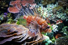 Red Lionfish (Pterois Volitans) in the water Stock Photos
