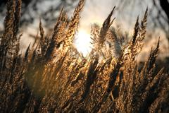 Dry grass field over the setting sun - stock photo