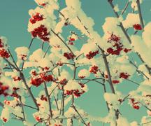 Red ash-berry under snow - vintage retro style Stock Photos