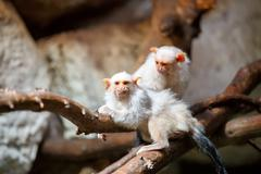 Stock Photo of silvery marmoset on branch