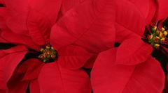 Poinsetti - stock photo