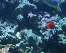 Paracanthurus hepatus. Stock Footage