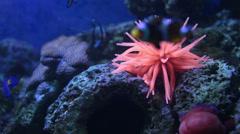 Ritteri magnificent sea anemone underwater scene. Stock Footage