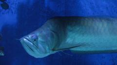 Silver arowana underwater scene. Stock Footage