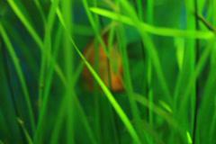 Discus fish underwater scene. Stock Footage