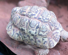 Leopard tortoise  geochelone pardalis. Stock Footage