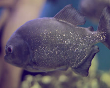 Piranha fish underwater. Stock Footage