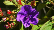 PURPLE FLOWER CLOSE UP Stock Footage