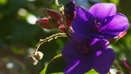 PURPLE FLOWER CLOSE UP (ZOOM OUT) # 2 Stock Footage
