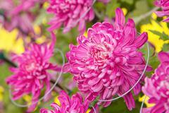 Colorful violet autumnal chrysanthemum background Stock Photos